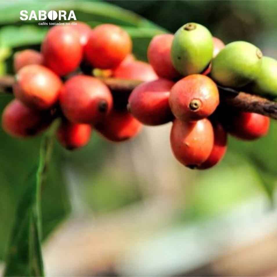 Planta de café ecológico u orgánico