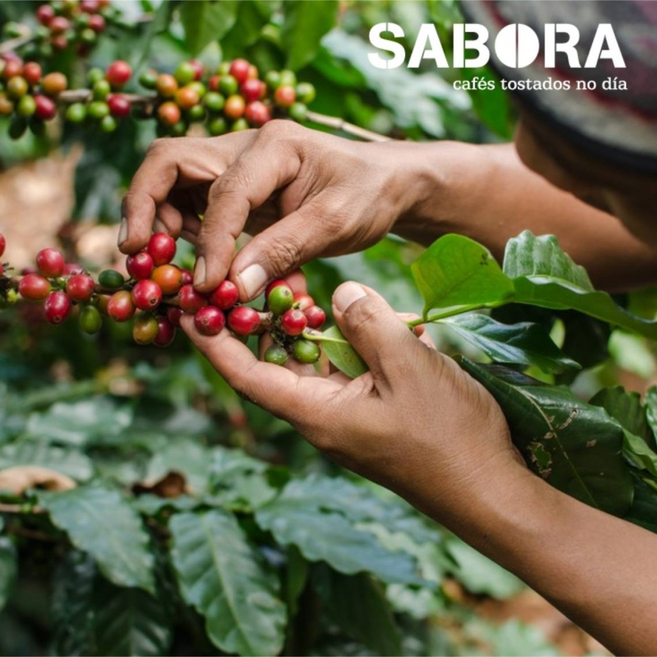 Muller traballa na recollida manual de cafés orgánicos
