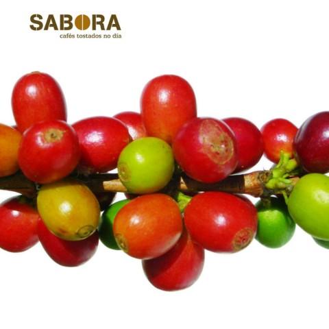 Froitos da cafeeira  onde nacen os grans de café