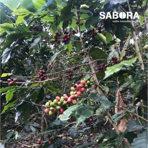 Café cultivado en predio.