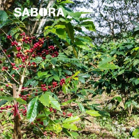 Organic coffee cultivated under the shadow.